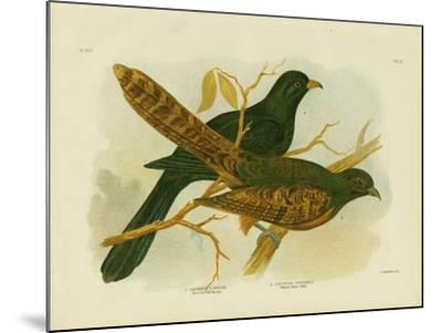 Pheasant Coucal, 1891-Gracius Broinowski-Mounted Giclee Print