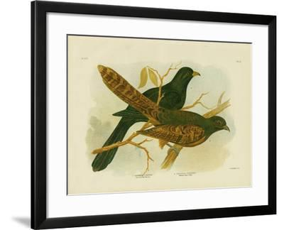 Pheasant Coucal, 1891-Gracius Broinowski-Framed Giclee Print