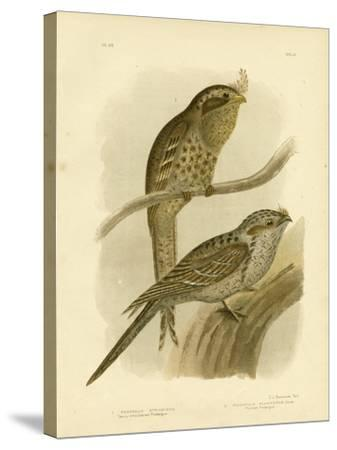 Tawny-Shouldered Podargus or Tawny Frogmouth, 1891-Gracius Broinowski-Stretched Canvas Print