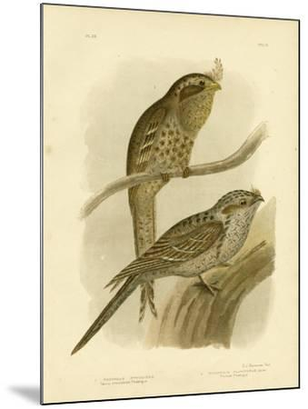 Tawny-Shouldered Podargus or Tawny Frogmouth, 1891-Gracius Broinowski-Mounted Giclee Print