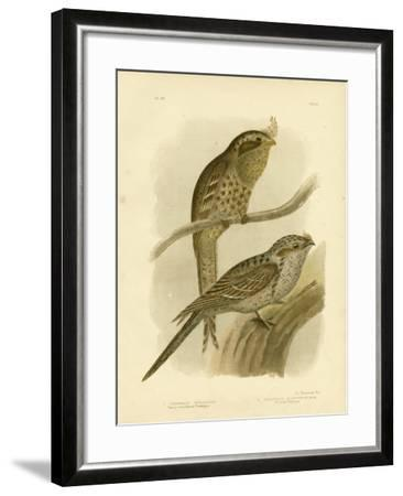 Tawny-Shouldered Podargus or Tawny Frogmouth, 1891-Gracius Broinowski-Framed Giclee Print