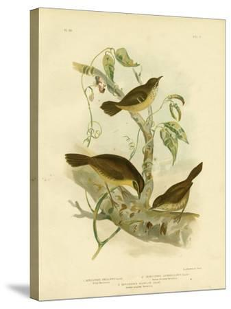 Allied Scrubwren or White-Browed Scrubwren, 1891-Gracius Broinowski-Stretched Canvas Print