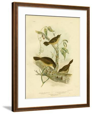 Allied Scrubwren or White-Browed Scrubwren, 1891-Gracius Broinowski-Framed Giclee Print