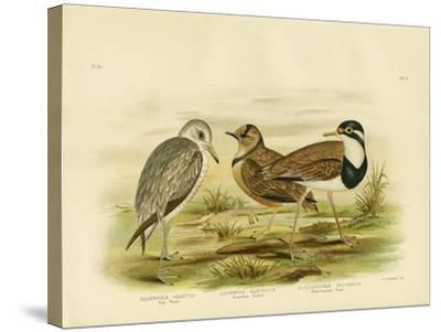 Black-Breasted Plover, 1891-Gracius Broinowski-Stretched Canvas Print