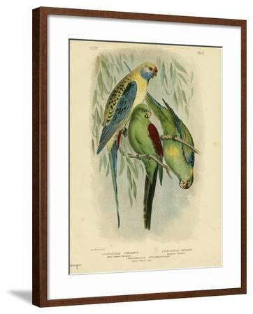 Blue-Cheeked Parakeet, 1891-Gracius Broinowski-Framed Giclee Print