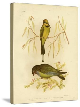 Australian Bee-Eater or Rainbow Bee-Eater, 1891-Gracius Broinowski-Stretched Canvas Print