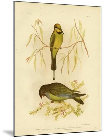 Australian Bee-Eater or Rainbow Bee-Eater, 1891-Gracius Broinowski-Mounted Giclee Print