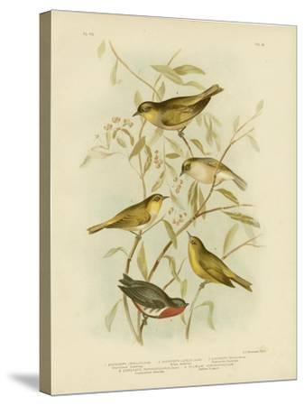 Grey-Backed Zosterops, 1891-Gracius Broinowski-Stretched Canvas Print