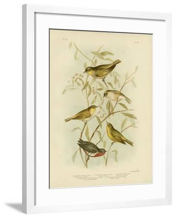 Grey-Backed Zosterops, 1891-Gracius Broinowski-Framed Giclee Print