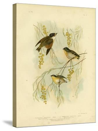 Spotted Diamondbird or Spotted Pardalote, 1891-Gracius Broinowski-Stretched Canvas Print