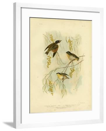 Spotted Diamondbird or Spotted Pardalote, 1891-Gracius Broinowski-Framed Giclee Print