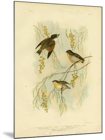 Spotted Diamondbird or Spotted Pardalote, 1891-Gracius Broinowski-Mounted Giclee Print