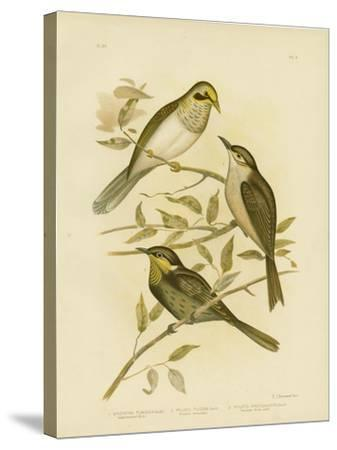 Yellow-Throated Miner, 1891-Gracius Broinowski-Stretched Canvas Print
