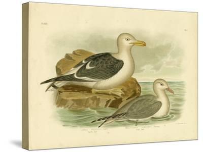 Pacific Gull, 1891-Gracius Broinowski-Stretched Canvas Print