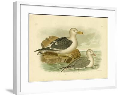Pacific Gull, 1891-Gracius Broinowski-Framed Giclee Print
