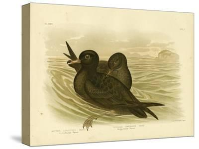 Fleshy-Footed Petrel, 1891-Gracius Broinowski-Stretched Canvas Print