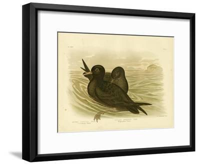 Fleshy-Footed Petrel, 1891-Gracius Broinowski-Framed Giclee Print