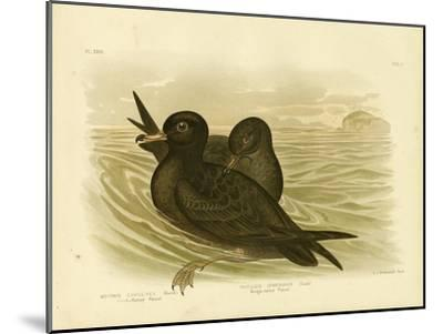 Fleshy-Footed Petrel, 1891-Gracius Broinowski-Mounted Giclee Print