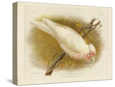 Long-Billed Cockatoo, 1891-Gracius Broinowski-Stretched Canvas Print