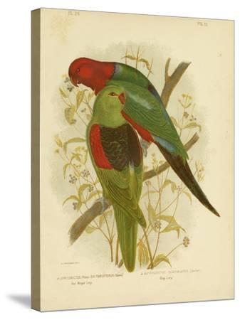 Red-Winged Lori or Red-Winged Parrot, 1891-Gracius Broinowski-Stretched Canvas Print