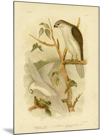 New Holland Goshawk, 1891-Gracius Broinowski-Mounted Giclee Print