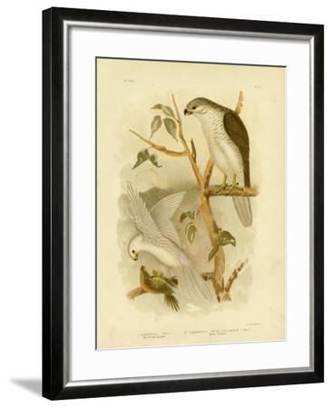 New Holland Goshawk, 1891-Gracius Broinowski-Framed Giclee Print