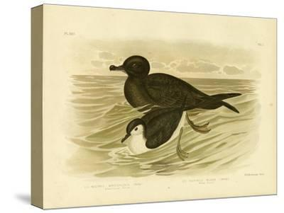 Short-Tailed Petrel, 1891-Gracius Broinowski-Stretched Canvas Print