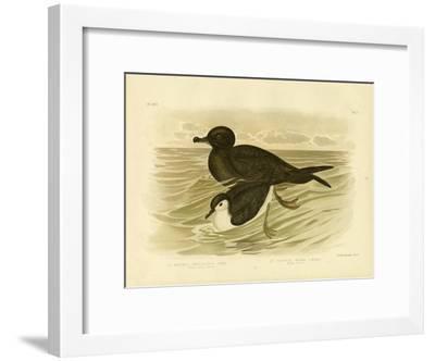 Short-Tailed Petrel, 1891-Gracius Broinowski-Framed Giclee Print