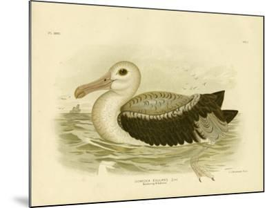 Silvery-Grey Petrel, 1891-Gracius Broinowski-Mounted Giclee Print