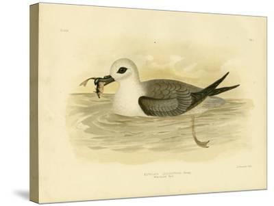 White-Headed Petrel, 1891-Gracius Broinowski-Stretched Canvas Print