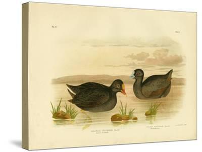 Sombre Gallinule or Dusky Moorhen, 1891-Gracius Broinowski-Stretched Canvas Print