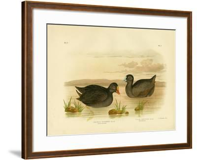 Sombre Gallinule or Dusky Moorhen, 1891-Gracius Broinowski-Framed Giclee Print