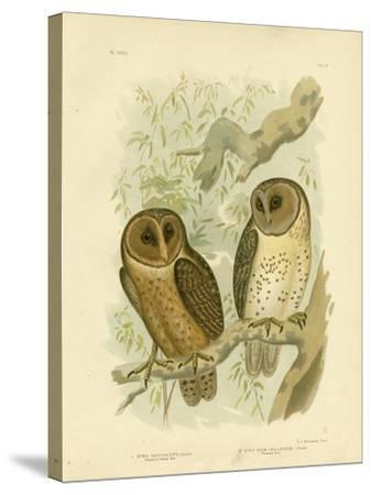 Chestnut-Faced Owl, 1891-Gracius Broinowski-Stretched Canvas Print