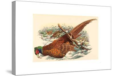 Phasianus Colchicus (Ring-Necked Pheasant), Colored Lithograph- Gould & Hart-Stretched Canvas Print