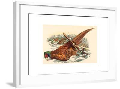 Phasianus Colchicus (Ring-Necked Pheasant), Colored Lithograph- Gould & Hart-Framed Giclee Print