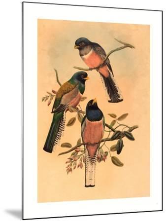 Trogan Variegatus, Probably 1836-1838- Gould & Hart-Mounted Giclee Print