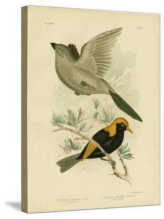 Grey Struthidea or Apostlebird, 1891-Gracius Broinowski-Stretched Canvas Print