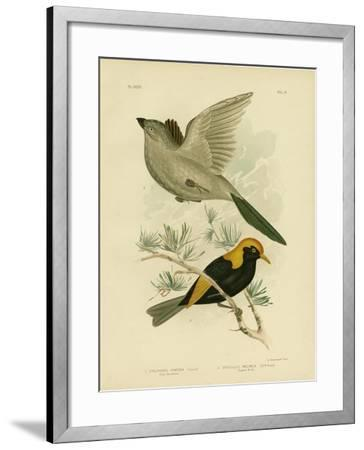 Grey Struthidea or Apostlebird, 1891-Gracius Broinowski-Framed Giclee Print