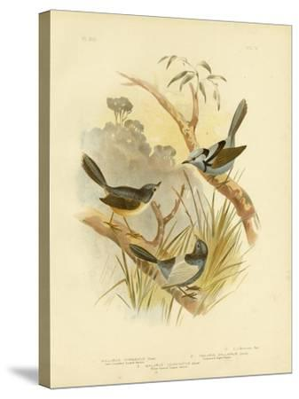 Fawn-Breasted Superb Warbler, 1891-Gracius Broinowski-Stretched Canvas Print