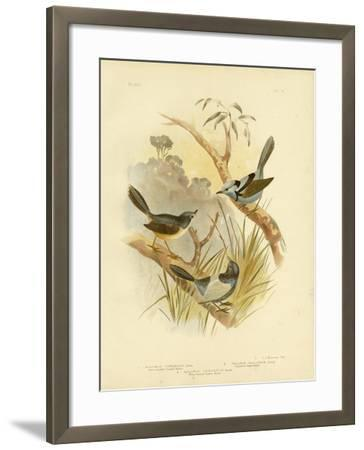 Fawn-Breasted Superb Warbler, 1891-Gracius Broinowski-Framed Giclee Print