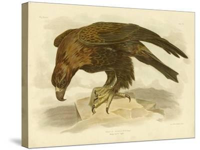 Wedge-Tailed Eagle, 1891-Gracius Broinowski-Stretched Canvas Print