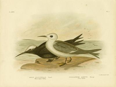 White-Capped Noddy, 1891-Gracius Broinowski-Framed Giclee Print