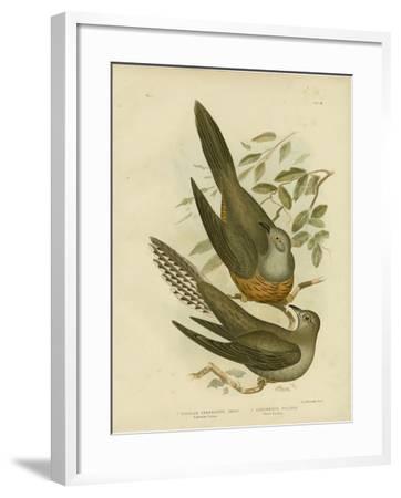 Australian Cuckoo, 1891-Gracius Broinowski-Framed Giclee Print