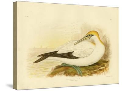 Australian Gannet, 1891-Gracius Broinowski-Stretched Canvas Print