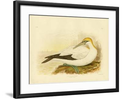 Australian Gannet, 1891-Gracius Broinowski-Framed Giclee Print
