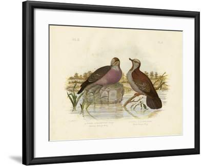 Common Bronzewing, 1891-Gracius Broinowski-Framed Giclee Print