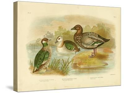 Green Pygmy Goose, 1891-Gracius Broinowski-Stretched Canvas Print