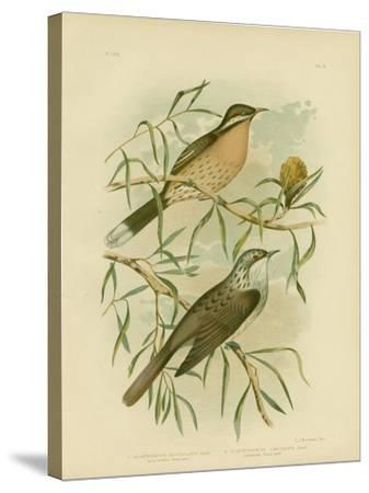 Spiny-Cheeked Honeyeater, 1891-Gracius Broinowski-Stretched Canvas Print