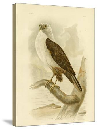White-Breasted Sea Eagle, 1891-Gracius Broinowski-Stretched Canvas Print
