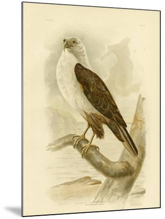 White-Breasted Sea Eagle, 1891-Gracius Broinowski-Mounted Giclee Print